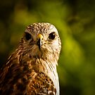 Red Shouldered Stare by Phillip  Simmons