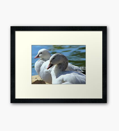 Snow Geese ~ Migrants Framed Print