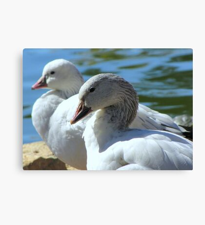 Snow Geese ~ Migrants Canvas Print