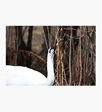 Whooping Crane Photographic Print