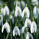 Snowdrop by Anthony Thomas