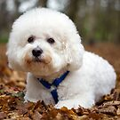 Bichon Frise by Chris Tait