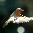 Robin in flight by Russell Couch