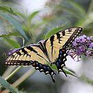 Yellow Swallowtail Butterfly by kremphoto