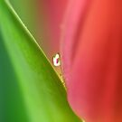 Tulip in drop by Caterpillar