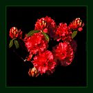 RED RHODO by Rose Frankcombe