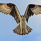 Osprey in flight up close! by Anthony Goldman