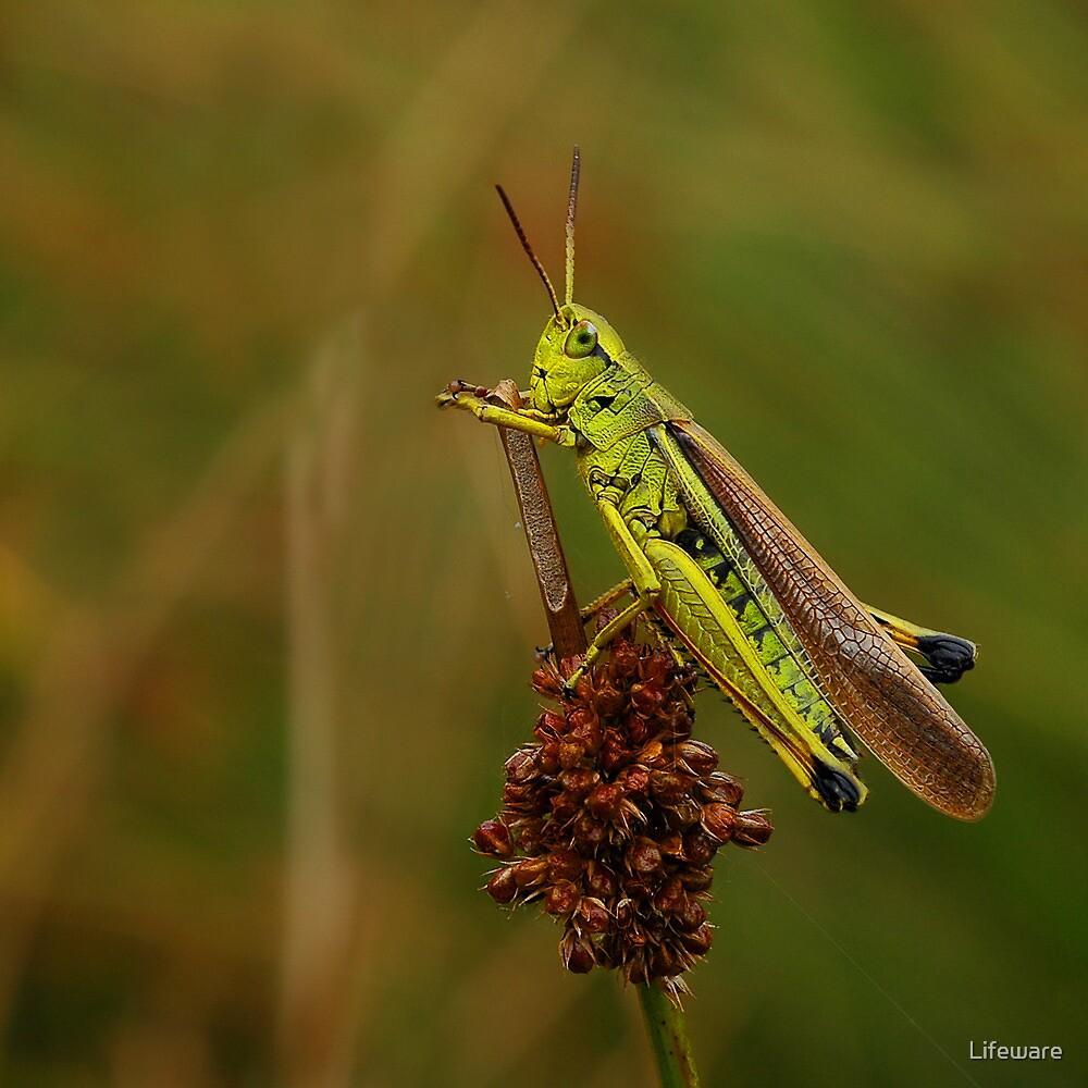 Grasshopper by Lifeware