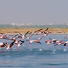 Flamingos taking flight by NicoleBPhotos