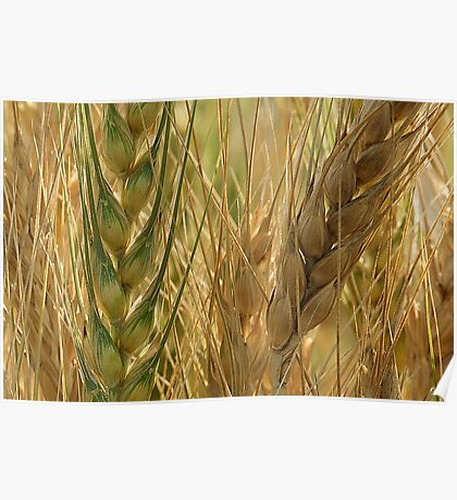 Wheat Crop Poster