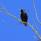 European Starling ~ Breeding Adult by Kimberly Chadwick