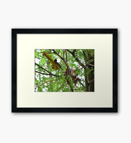 Hooded Orioles ~ Mother feeding Baby Framed Print