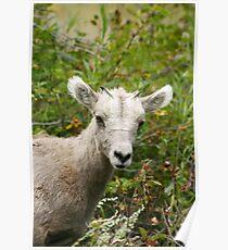 Juvenile Rocky Mountain Sheep Poster