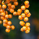 orange berries by Hege Nolan