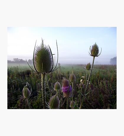 Teazle Photographic Print