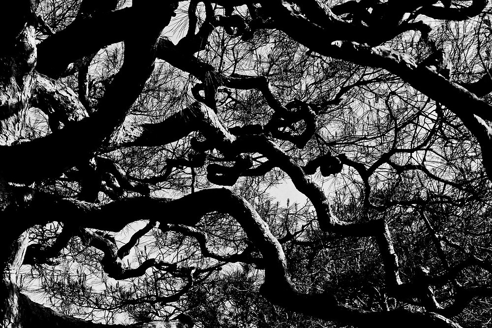 A contorted tree - Kyoto  by hawkea