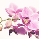 orchid II by hannes cmarits