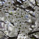 Braford Pear tree in the spring. by Elspeth  McClanahan