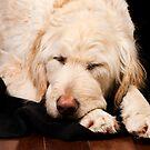 sleeping yellow dog by natalies