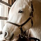white horse in stall by natalies