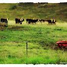 Moo Cows  by Jennifer Craker