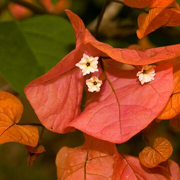 Autumnal Bouganvillea by reflector