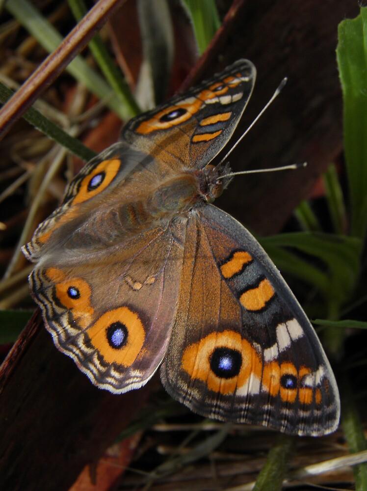 Meadow Argus Butterfly - Junonia villida by Dan Monceaux