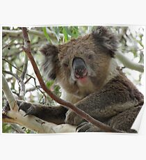 Koala (Phascolarctos cinereus) - Horsnell Gully, South Australia Poster