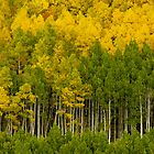 The Aspen Forest by John  De Bord Photography