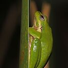 Green Frog by Lincoln Stevens