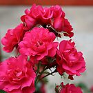 Pretty Pink Roses by Marie Brown ©