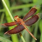 Red and Bronze Dragonfly by Lincoln Stevens