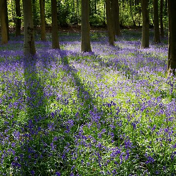 English Bluebells by CarolynEaton