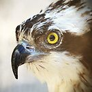 Face of Osprey by Kathy Cline