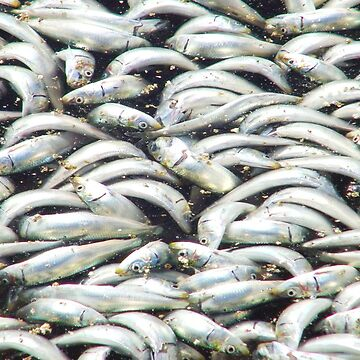 Sardines wash up at Redondo Beach by ELENNE