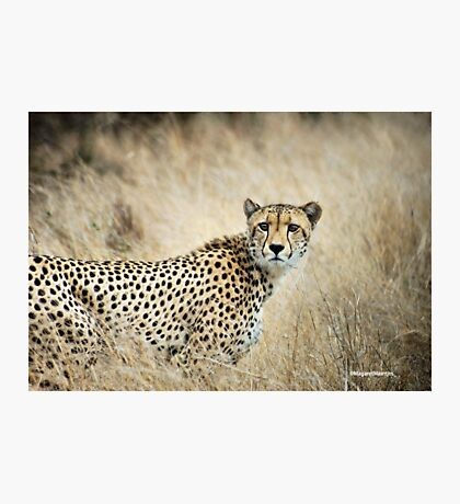 A MOMENT IN TIME - THE CHEETAH - Acinonyx jubatus Photographic Print
