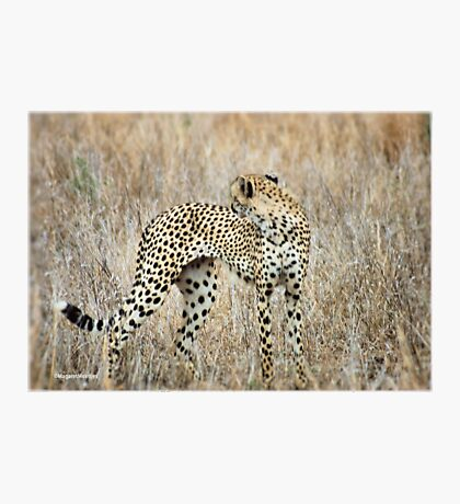 A MOMENT IN TIME - THE CHEETAH Photographic Print