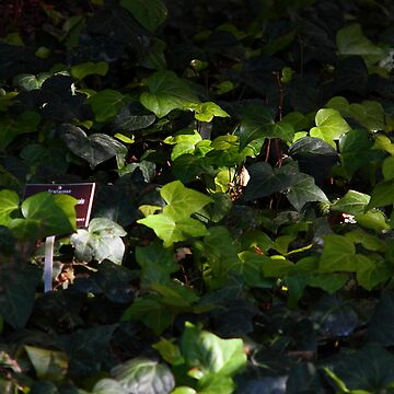 Ivy by click