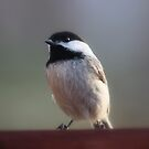Black-Capped Chickadee by Renee Blake