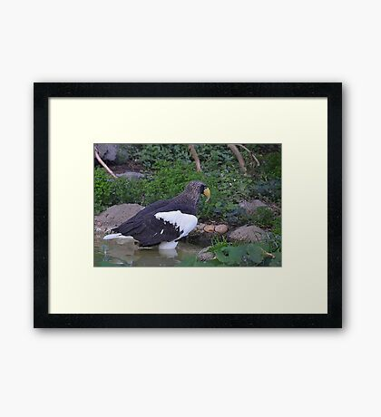 Sea Eagle Framed Print