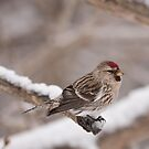 Common Redpoll by Benjamin Brauer
