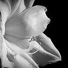 White Amarillis by Karen Kaleta