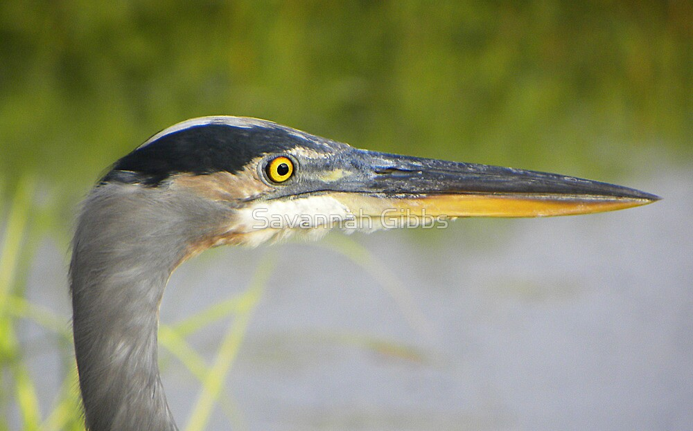 Great Blue Heron by Savannah Gibbs