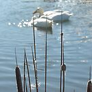 Feathering...Cornish pond. by greenstone