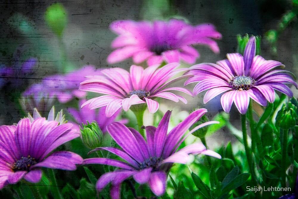 Purple Daisies  by Saija  Lehtonen