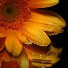 Gerbera Daisy II by Mattie Bryant