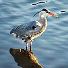 Great Blue Heron by loiteke