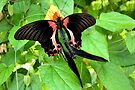 Mating Scarlet Mormon - Papilio rumanzovia by Lepidoptera
