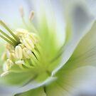 Helleborus by Sophie Watson