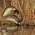 Mating Grebes - 2 by Robert Abraham